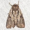 Morrisonia Moth- Hodges #10521.1 - Morrisonia triangula