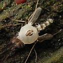Fugus Ridden Fly - male