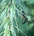 parastic wasp on Riverbank Wild Rye - female