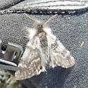 Kershaw NWT moth - Leucobrephos brephoides - male