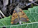 Papaipema rutila - Papaipema cataphracta