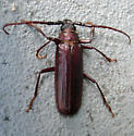 Beetle - Orthosoma brunneum