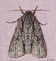 Mississippi Moth - Acronicta hasta