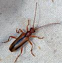 Cerambycidae - Pidonia aurata