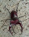 stag1 - Lucanus elaphus - male