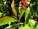 Green Darner Anax junius - Anax junius - female