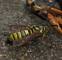 NOT a Vespula squamosa  -- some type of clearwing moth - Sesia tibiale