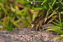 What type of wasp is this? - Polistes fuscatus - male