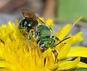 Mason Bee - Osmia