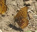 is this a Great Spangled Fritillary? - Speyeria cybele