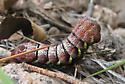 Unknown Sphinx moth caterpillar? - Eumorpha typhon