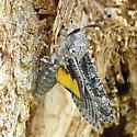 Carpenterworm moth - Prionoxystus robiniae - male