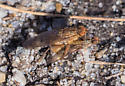Golden Dung Fly (Scathophaga stercoraria) - Scathophaga - male - female