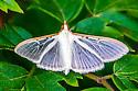 Jasmine moth or four-spotted palpita moth