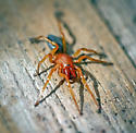 Woodlouse hunter spider - Dysdera crocata