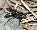 Spider wasp - Episyron biguttatus - female