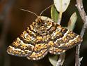 Black-banded Orange - Epelis truncataria