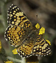 We're thinking mylitta - Phyciodes mylitta - female