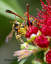 Yellow wasp queen & male - male - female