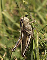 Which grasshopper.... - Melanoplus bivittatus - female
