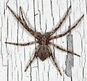 Small philodromid spider - Philodromus