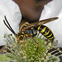 Wasp 2012.03.15.15515 - Nomada - male