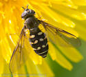 flower fly - Dasysyrphus intrudens