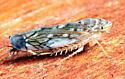 Scaphoideus sp. - Scaphoideus