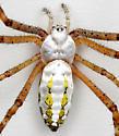 BG1104 D1864 - Argiope trifasciata - female
