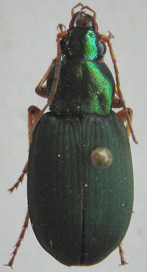 Chlaenius sericeus - female