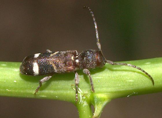 Beetle ID [=Psenocerus supernotatus?] Request - Psenocerus supernotatus