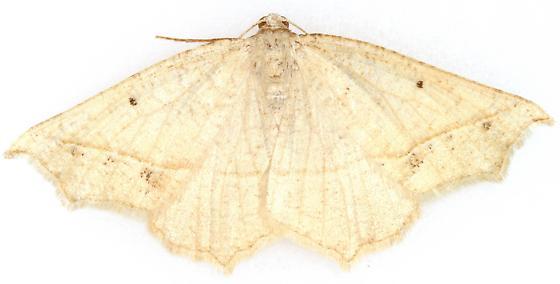 Eusarca - Eusarca galbanaria - female