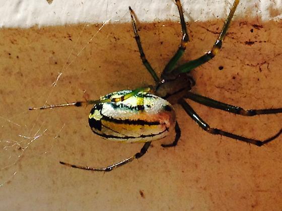 Unknown spider - Leucauge venusta