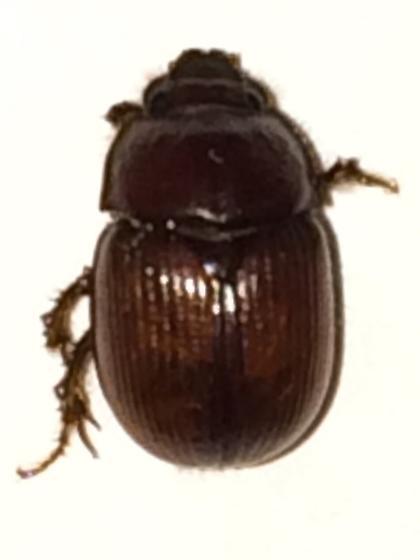Beetle - Odonteus - female