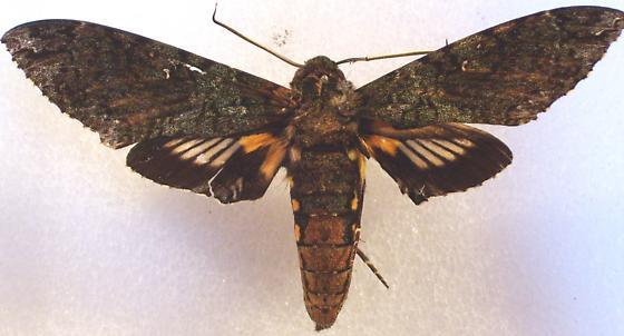Cocytius duponchel - female