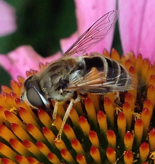 Bee Looking Fly with Triangles - Eristalis arbustorum