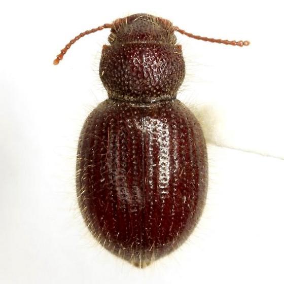 Trichiotes seriatus Casey - Trichiotes seriatus