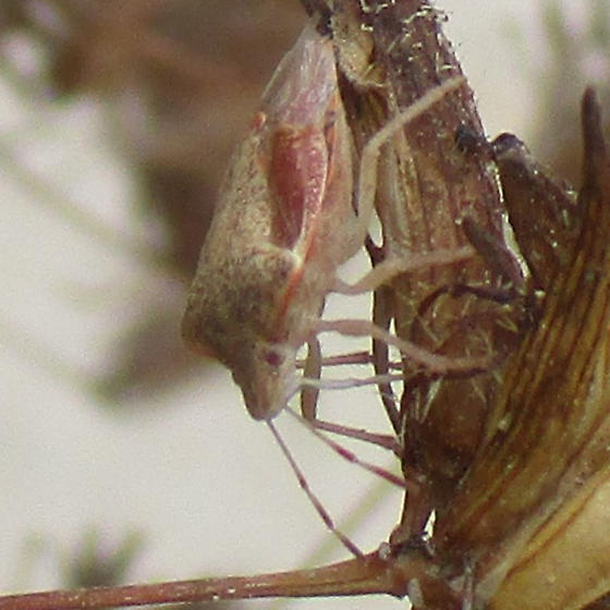 Cream white and orange pink insect on Stiffbranch Bird's Beak, dried. Stink bug shape.