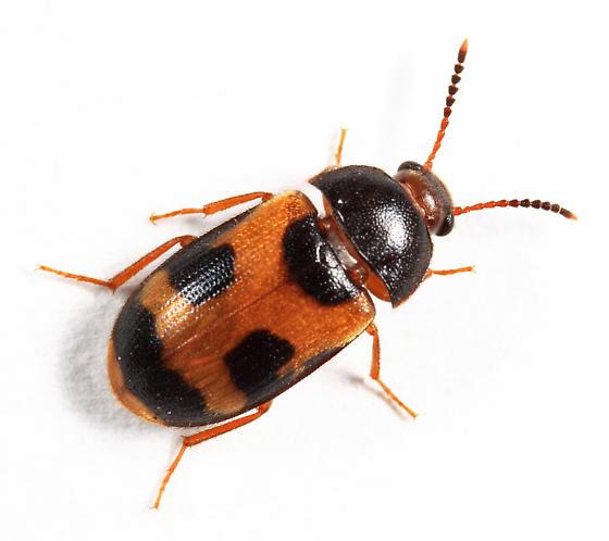 Mycetophagidae - Mycetophagus punctatus