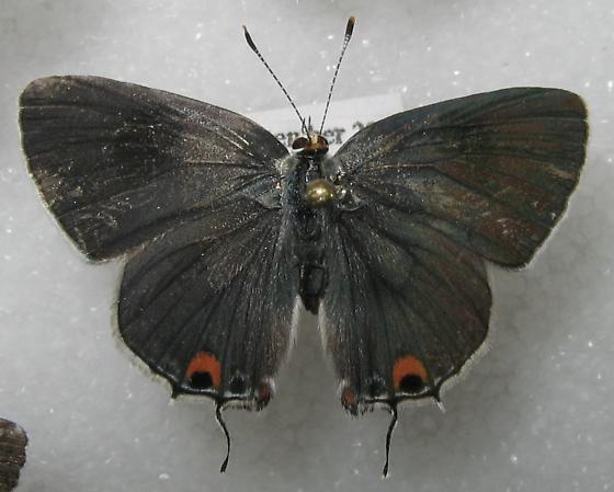 Strymon melinus - female