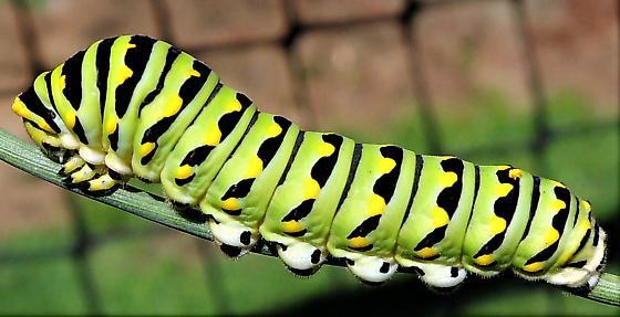 WI073017 - 1 - Papilio polyxenes