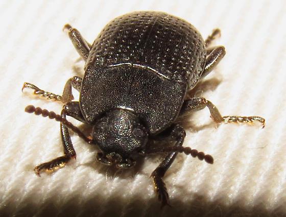 Some type of beetle - Alaetrinus minimus