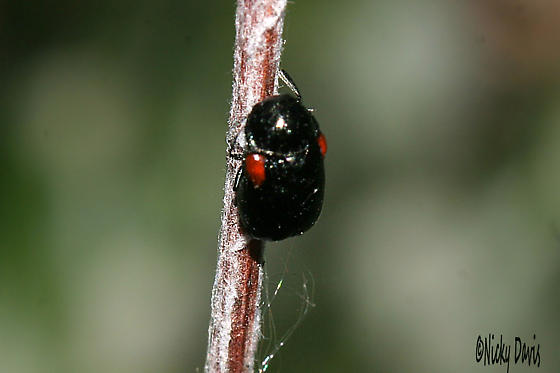 Tiny black bug with two red spots