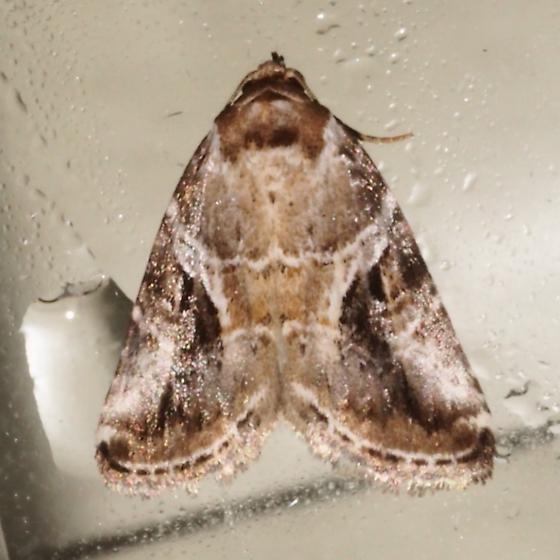 ID Request - Hodges # 9068 – Diastema cnossia? - Diastema cnossia