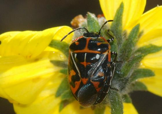 Harlequin Bug for California in January - Murgantia histrionica