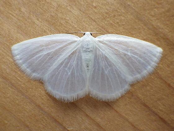 Geometridae: Lomographa vestaliata - Lomographa vestaliata