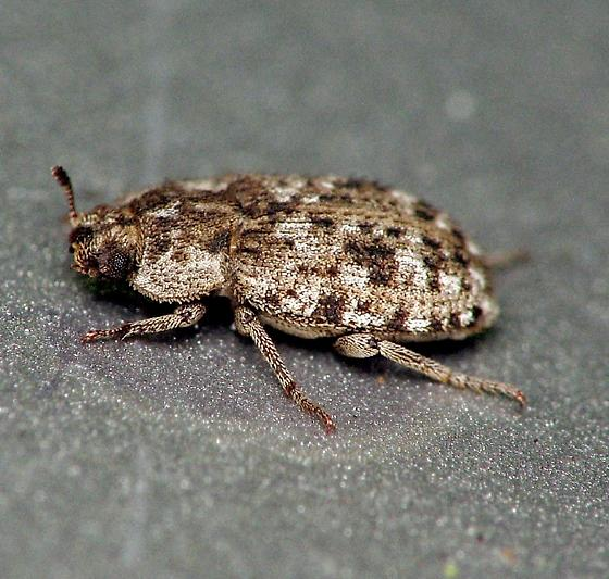Beetle, maybe a weevil? - Leichenum canaliculatum