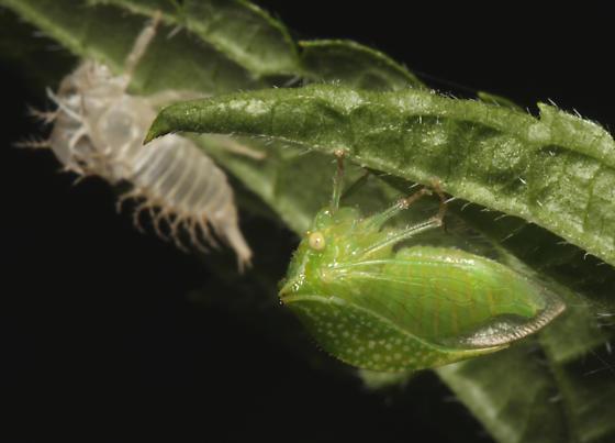 Buffalo Treehopper - Stictocephala