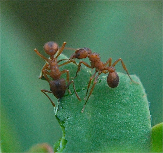 Bumpy Leaf Cutter Ants - Trachymyrmex septentrionalis