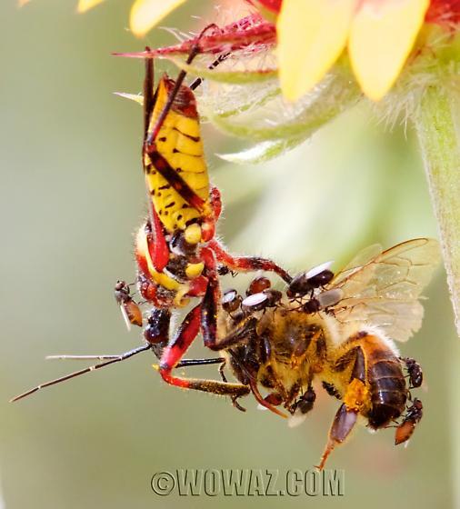 Apiomerus flaviventris - Yellow-bellied Bee Assassin assassinating a bee… - Apiomerus flaviventris
